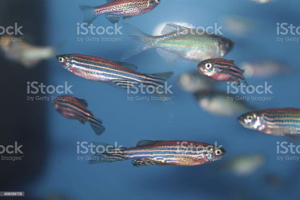 Zebrafish (Danio rerio) aquarium fish Zebrafish (Danio rerio) tropical aquarium fish Aquatic Organism Stock Photo