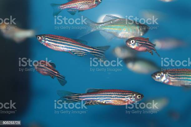 Zebrafish Aquarium Fish Stock Photo - Download Image Now
