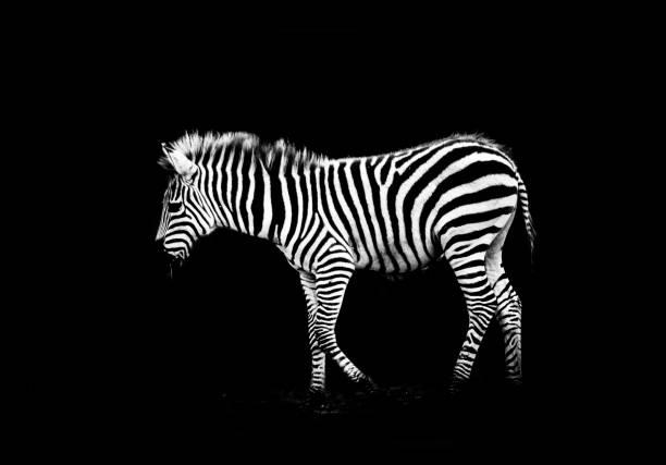 Zebrafohlen – Foto