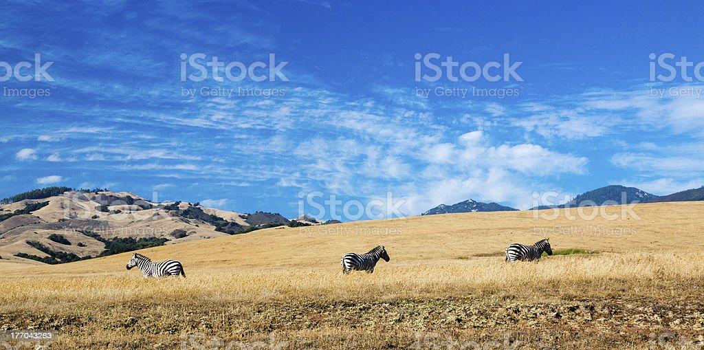 Zebras Along the Pacific Coastline royalty-free stock photo