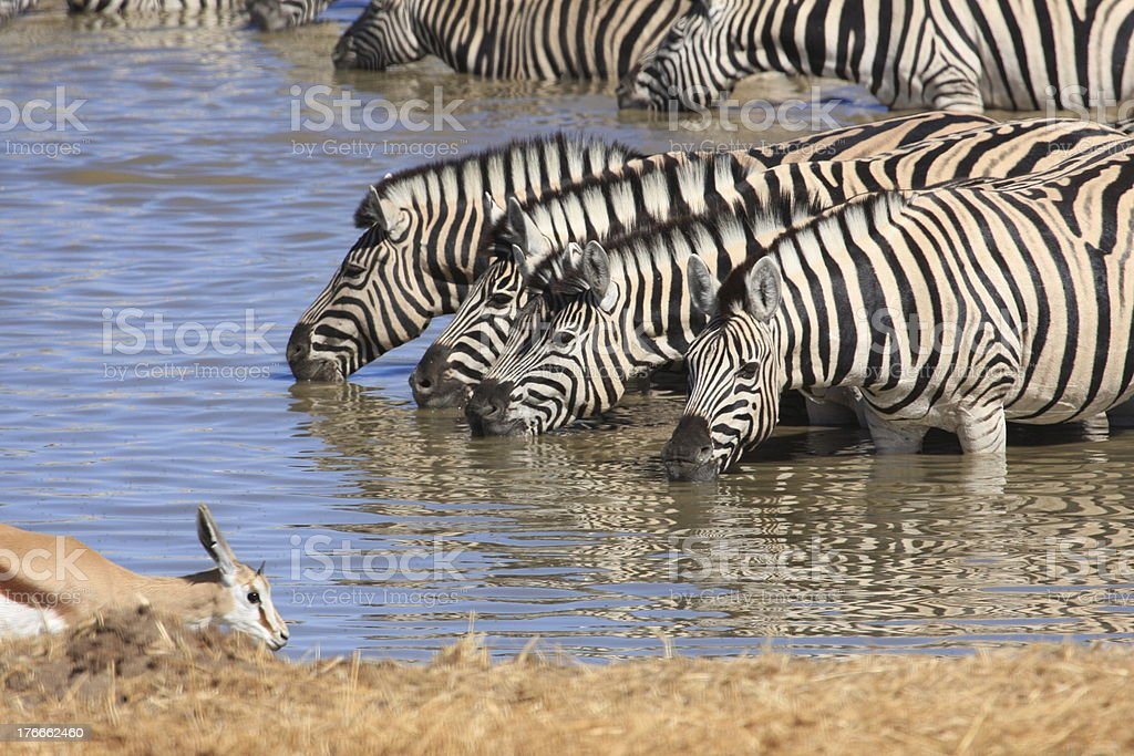 Zebras am Wasserloch in Etosha royalty-free stock photo