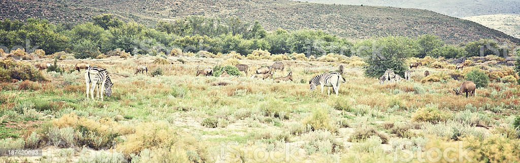 Zebras and Kudu Grazing in South Africa. stock photo
