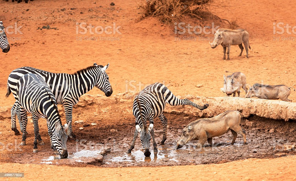 Zebras and warthogs  by the waterhole. Selenkay, Amboseli Porini,. stock photo
