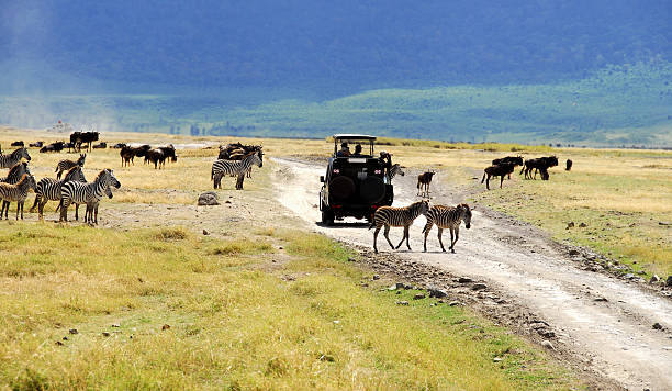 Zebras and wildebeest in Ngorongoro Crater,Tanzania stock photo