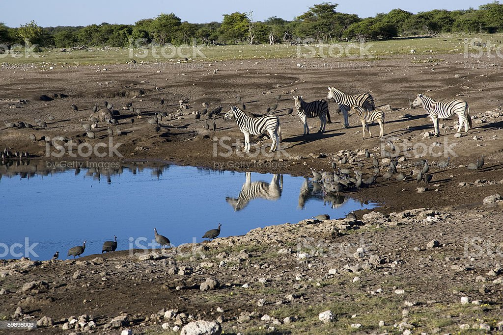 Zebras at Etosha National Park Waterhole royalty-free stock photo