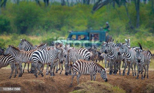 Zebras at Great Migration