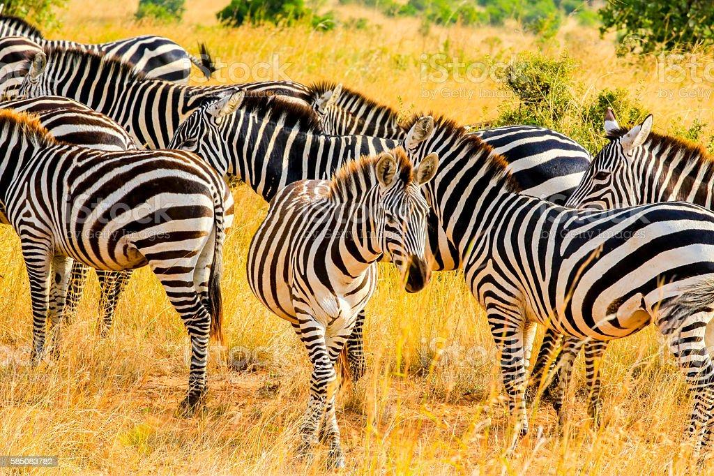 Zebras at Savannah stock photo