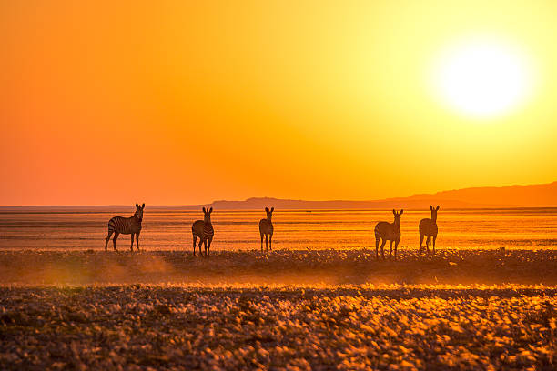 Zebras at sunset 5 Zebras at the sunset on the plains of the Namib Desert. namib desert stock pictures, royalty-free photos & images