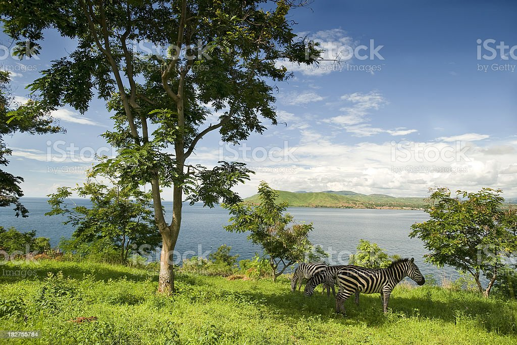 Zebras at the shore of Lake Tanganyika stock photo