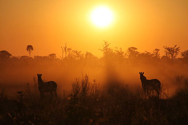 Zebras at the sunrise picture id136261665?b=1&k=6&m=136261665&s=612x612&w=0&h=xoll1vo3ealv6whr7qysytk3dmx0ep1twcibzmm6h2w=