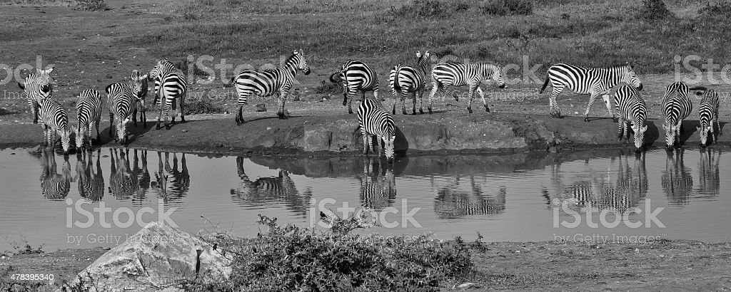 Zebras at the water hole stock photo
