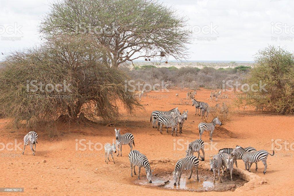Zebras by the waterhole. Selenkay, Amboseli Porini, Kenya, East Africa. stock photo