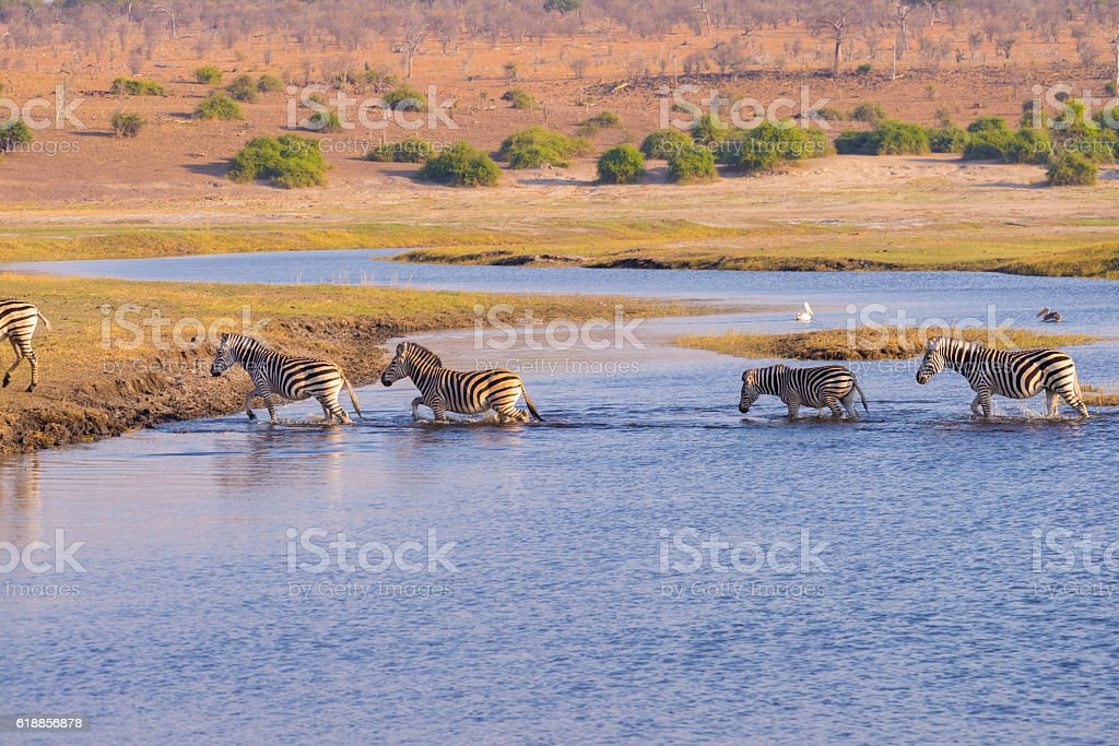 Zebras crossing Chobe river at sunset, Namibia stock photo