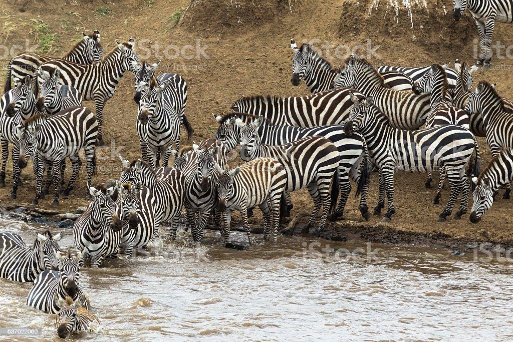 Zebras crossing the river Mara. Masai Mara, Kenya stock photo