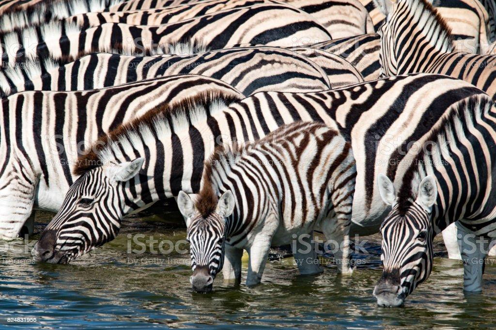 Zebras drinking at a waterhole in Etosha National Park, Namibia stock photo