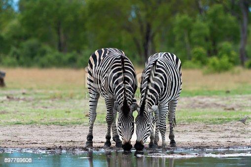Two plains zebra (Equus quagga) in Hwange National Park, Zimbabwe.
