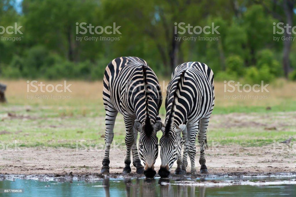 Zebras Drinking at a Waterhole in Hwange National Park, Zimbabwe stock photo