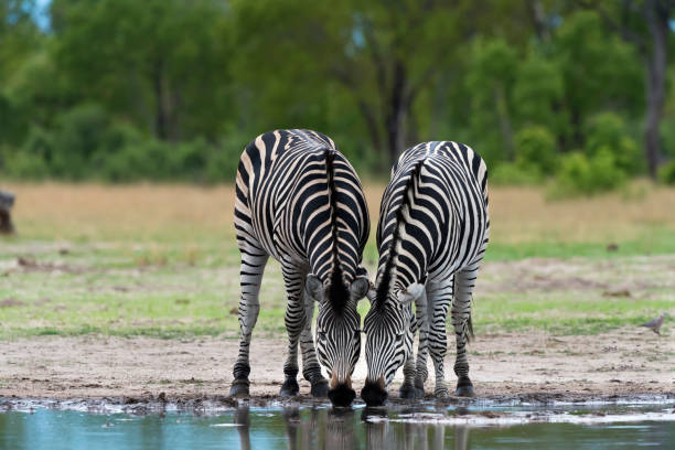 zebras drinking at a waterhole in hwange national park, zimbabwe - zebra stock photos and pictures