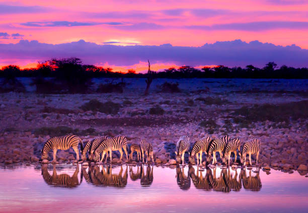 Zebras drinking at waterhole at Sunset Zebras drinking at waterhole during sunset and sunrise. Etosha national park safari game drive in Namibia. Safari animals, game drive in Africa. Travel journey in South Africa, Botswana and Namibia. namibia stock pictures, royalty-free photos & images
