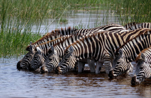 Zebras drinking from a river. stock photo
