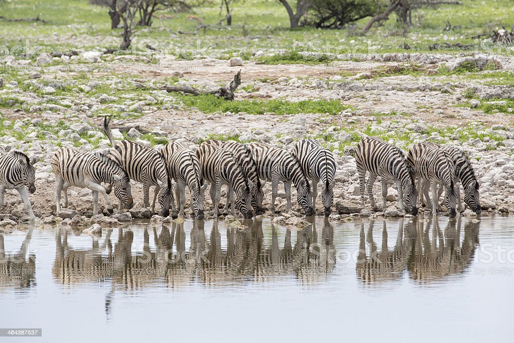 Zebras drinking in line royalty-free stock photo
