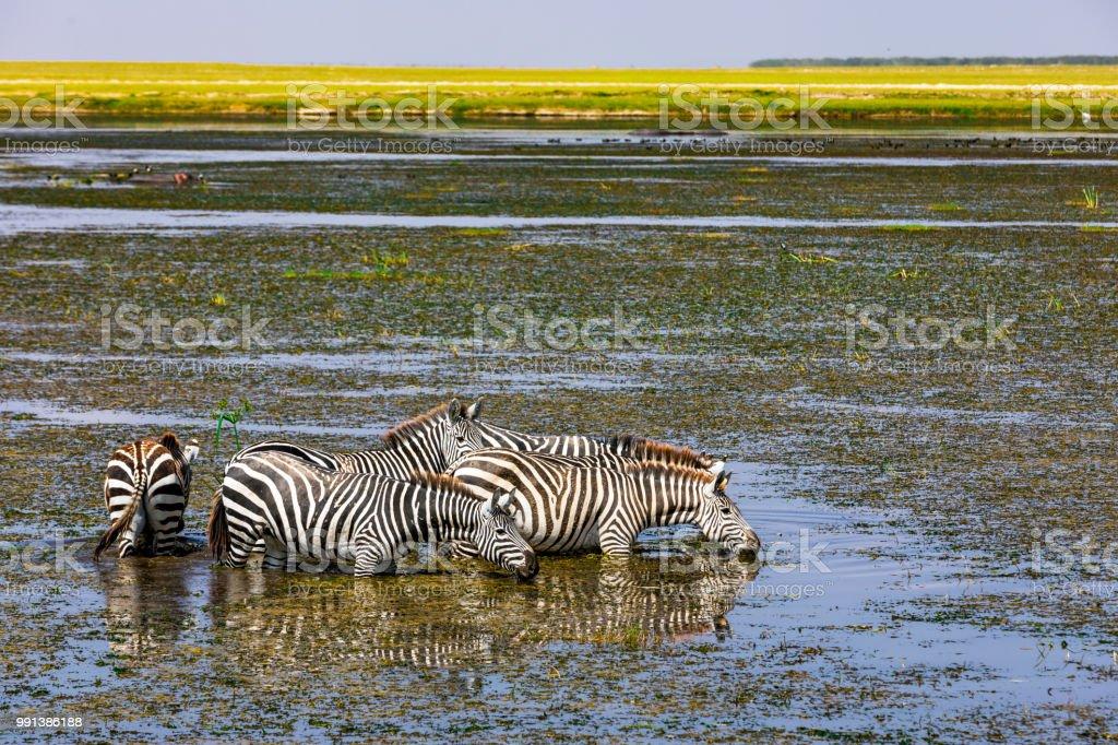 Zebras Drinking stock photo