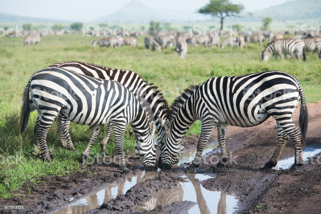 Zebras drinking water from the puddle stock photo