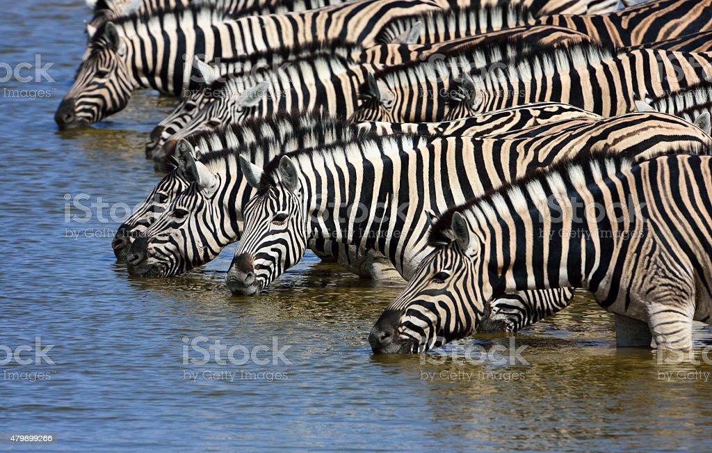 zebras drinking water stock photo