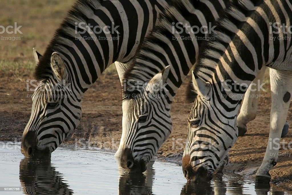 Zebras drinking water royalty-free stock photo
