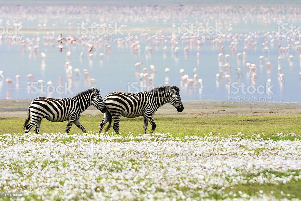 zebras, flowers and flamingos royalty-free stock photo