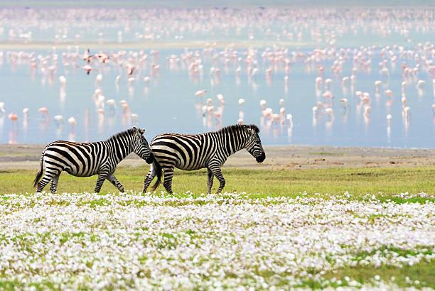 zebras, flowers and flamingos stock photo