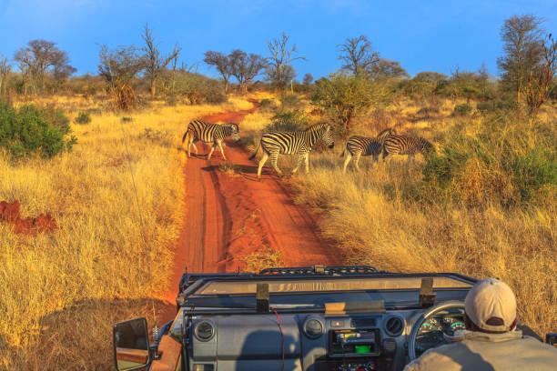 zebras game drive - заповедник дикой природы стоковые фото и изображения