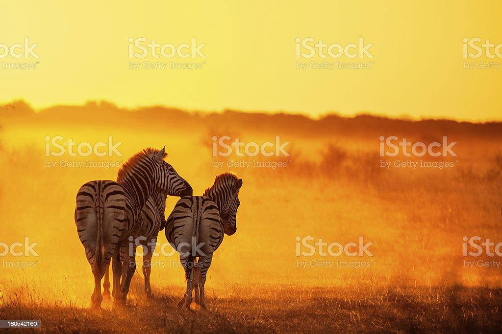 Zebras Going Home stock photo