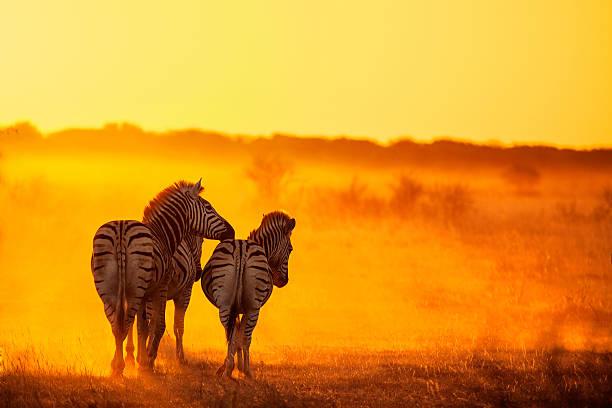 Zebras Going Home