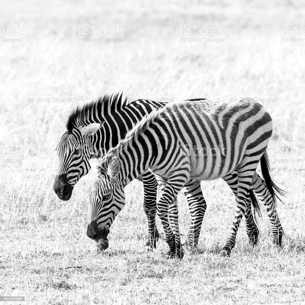Zebras Grazing at Savannah stock photo