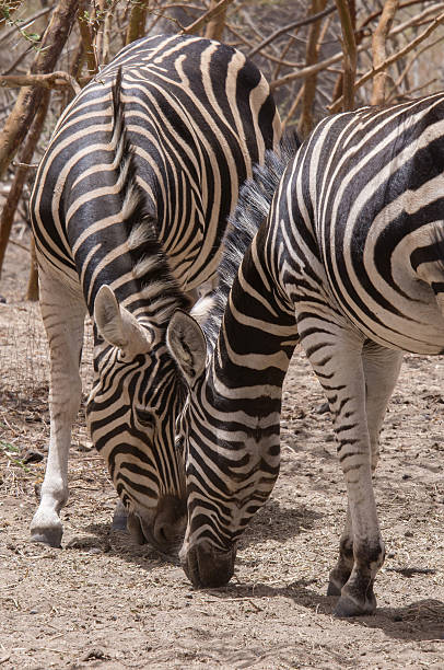 Zebras grazing in the Bandia reservation - foto de stock