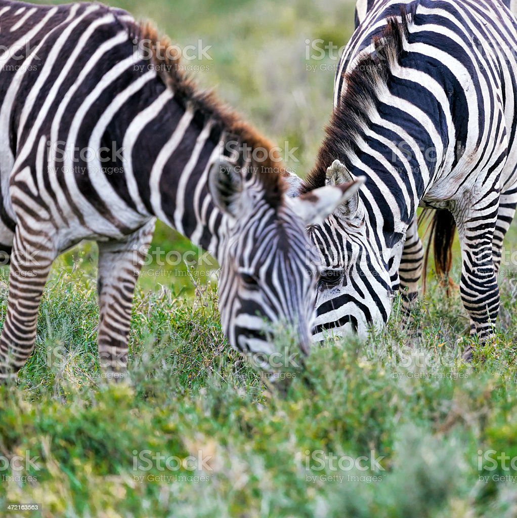 Zebras - Grazing stock photo