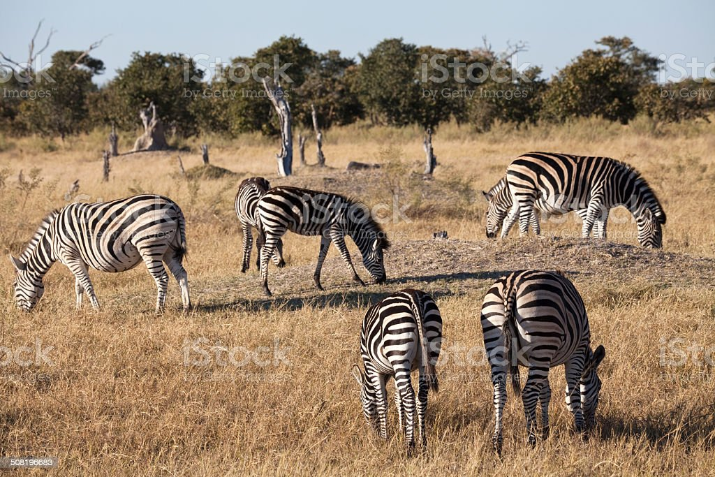 Zebras grazing stock photo