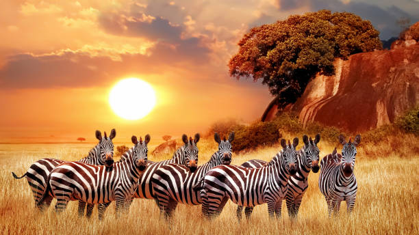 Zebras group in the african savanna against the beautiful sunset picture id1203788917?b=1&k=6&m=1203788917&s=612x612&w=0&h=2zgyxqjqn8a nbug5ivjv nn2lyk0zru2n gnnmpmke=