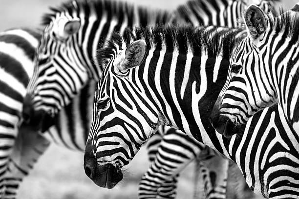 zebras heads - 野生動物旅行 ストックフォトと画像