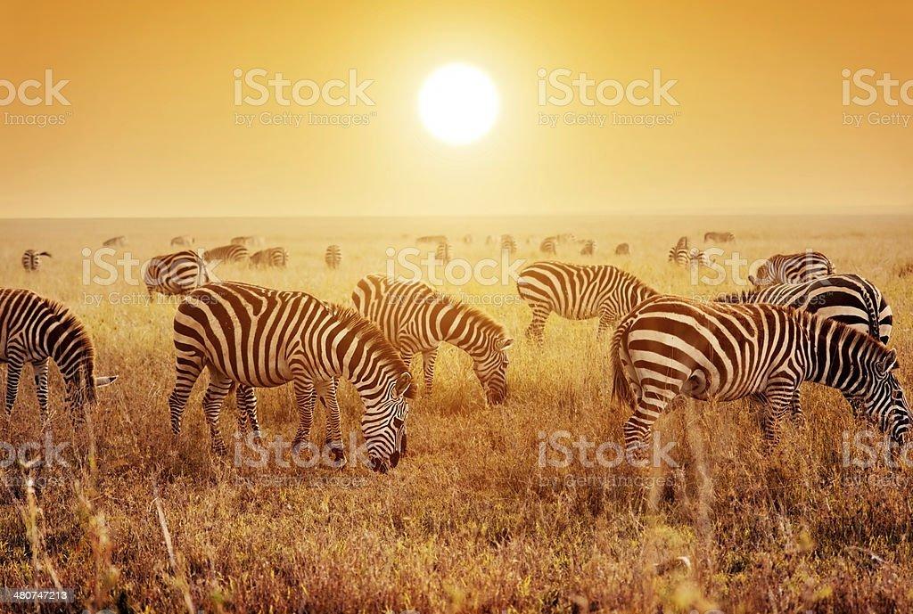 Zebras herd on African savanna at sunset. stock photo