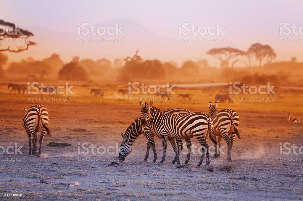 Zebras herd on savanna at sunset, Amboseli, Africa stock photo