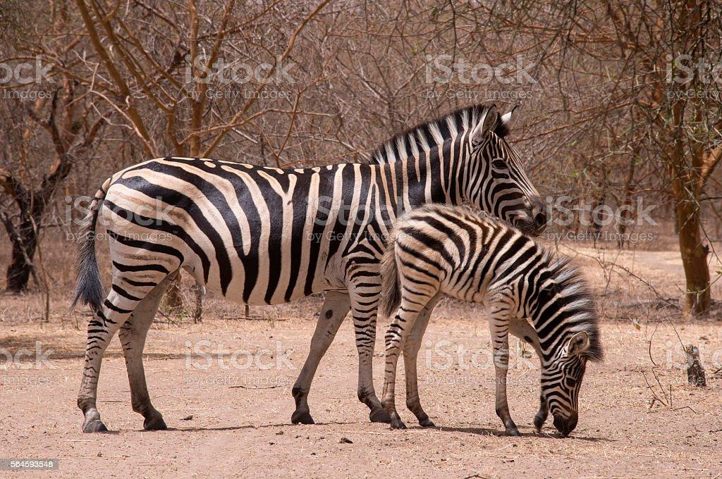 Zebras in a nature reserve in Senegal - foto de stock
