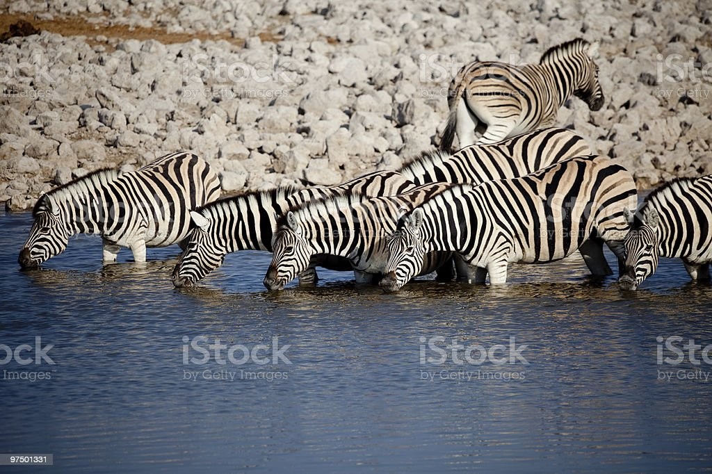 Zebras in a row royalty-free stock photo