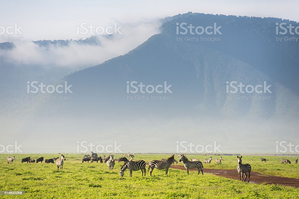 Zebras in Africa Ngorongoro Crater stock photo