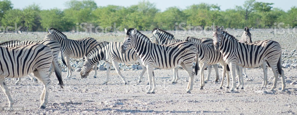 zebras in Africa stock photo