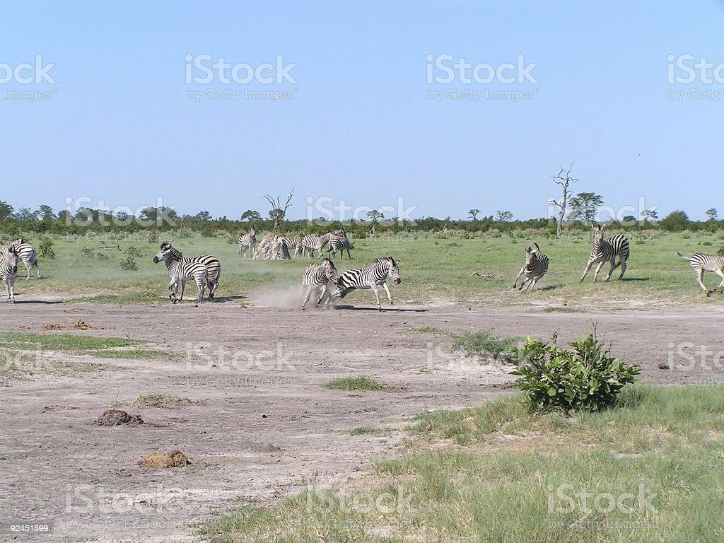 Zebras in Botswana royalty-free stock photo