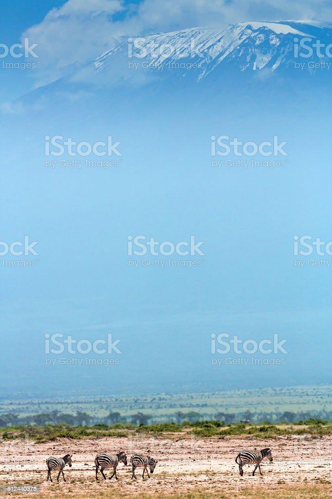 Zebras in front of Mount Kilimanjaro stock photo