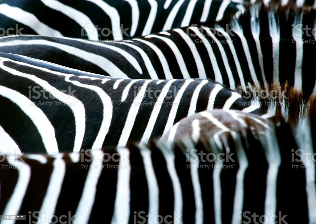 zebras in full-frame royalty-free stock photo