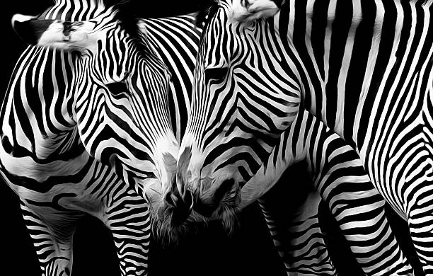 zebras in love in black and white - zebra stock photos and pictures